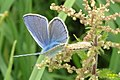 Common blues in cop (NH) (10975821295).jpg