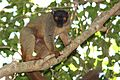 Common brown lemur (Eulemur fulvus).jpg