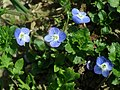 Common field speedwell (Veronica persica) - geograph.org.uk - 393851.jpg