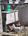 Concrete, WA - chickens in a pen on Limestone Street 02.jpg