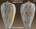 Conus andamanensis 2-cf.jpg