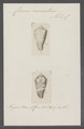 Conus aurantius - - Print - Iconographia Zoologica - Special Collections University of Amsterdam - UBAINV0274 086 06 0003.tif