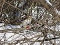 Cooper's hawk feeding on a blue jay 18.jpg