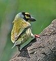 Coppersmith Barbet (Megalaima haemacephala) in Hyderabad, AP W IMG 9618.jpg