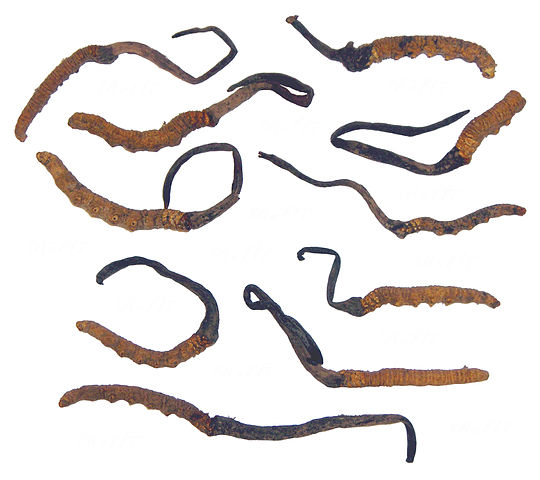 https://upload.wikimedia.org/wikipedia/commons/thumb/0/07/Cordyceps_Sinensis.jpg/540px-Cordyceps_Sinensis.jpg
