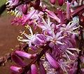 Cordyline fruticosa (5311699312).jpg