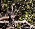 Cormoran olivaceo - Phalacrocorax brasilianus.jpg