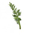 Coronopus didymum leaf (11).jpg