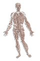 Corpo humano wikimedia.jpg