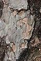 Corsican Pine Pinus nigra laricio Bark Detail 2000px.jpg