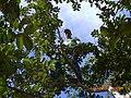 Cortando Guayabas - panoramio (1).jpg