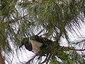 Corvus albus 0009.jpg
