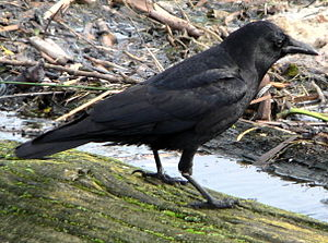 American or Northwestern Crow on the shore of ...