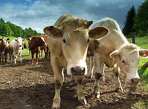 English: Cows. I went to take a photograph of ...