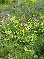 Cowslips and bugle - geograph.org.uk - 459953.jpg