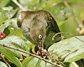 Cream-vented Bulbul (Pycnonotus simplex) - Flickr - Lip Kee.jpg