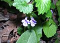 Creeping Charlie, Ground Ivy (Glechoma hederacea) - Flickr - Jay Sturner (1).jpg