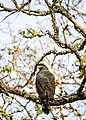 Crested Serpent Eagle Rear View.jpg