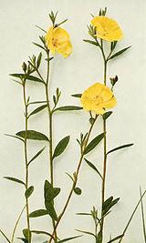 Crocanthemum canadense WFNY-131B.jpg