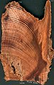 Crosscut of Pinus sylvestris old tar-stump.jpg