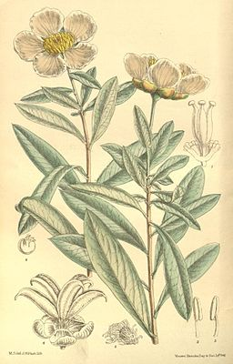 Crossosoma californicum, Illustration