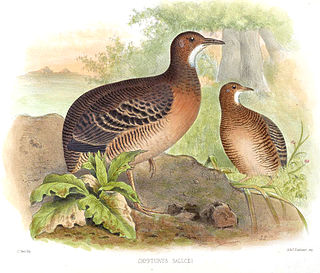 Thicket tinamou Species of bird