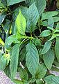 Csapodya splendens leaves BOGA Bern.jpg