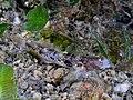 Ctenogobiops tangaroae (Masted shrimpgoby).jpg