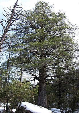 Cupressus arizonica tree Chiricahua.jpg