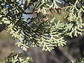 Cupressus macnabiana.JPG