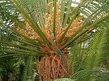 Cycas rumphii FemaleFertileLeaves BotGardBln0806b.JPG
