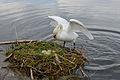 Cygnus olor, nests with eggs, Höckerschwan mit Nest 6.JPG