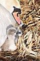 Cygnus olor (Küken) - Arboretum 2011-05-28 18-12-04.JPG