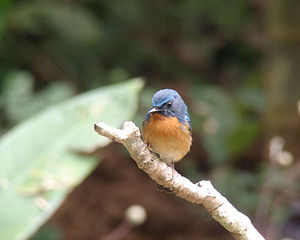 Chiang Dao Wildlife Sanctuary - A photo of a hill blue flycatcher in the wildlife sanctuary.