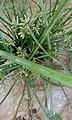 Cyperus rotundus L 03.jpg