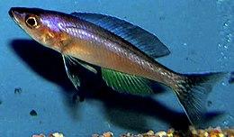 Cyprichromis leptosoma.jpg