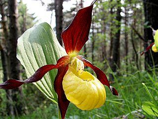 Hoa gieo tứ tuyệt 3 - Page 10 320px-Cypripedium_calceolus_03-09