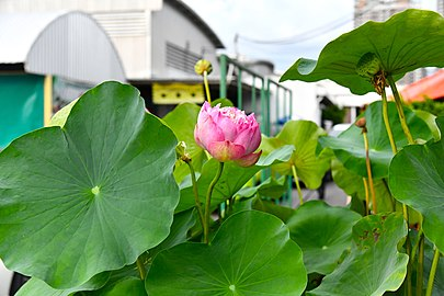 D85 1540 Nelumbo Lotus Photographed by Trisorn Triboon.jpg