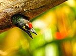 DSCN3427 Coppersmith barbet นกตีทอง โดย ไตรสรณ์ ไตรบุญ.jpg