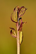 Dactylorhiza russowii infructescence - Niitvälja bog.jpg