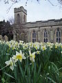 Daffodils at Ryde St Thomas' Church.JPG