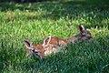 Daino (Dama dama) - Fallow deer, Bareggio, Italia, 08.2018 (2).jpg