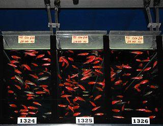 GloFish Brand of genetically modified fluorescent fish