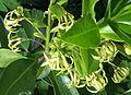 Daphne jezoensis Orchi 152-1.jpg
