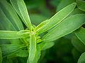 Das Süßkraut, lat. Stevia rebaudiana 04.jpg
