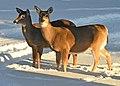 Deer in the Back Yard -- Drummond Island, Michigan in Winter - 49714062791.jpg