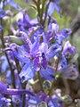 Delphinium andersonii (4411761145).jpg