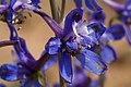 Delphinium scaposum - Flickr - aspidoscelis (2).jpg
