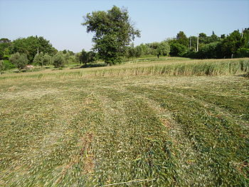 Italiano: All'interno del crop circle di Ancona.
