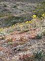Desert Horned Lizard (Phrynosoma platyrhinos) - 12489381614.jpg